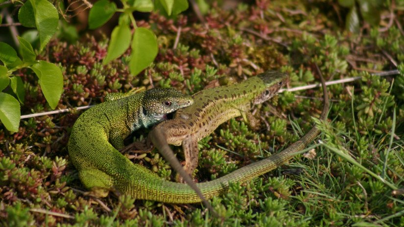 European green lizards (Lacerta viridis)