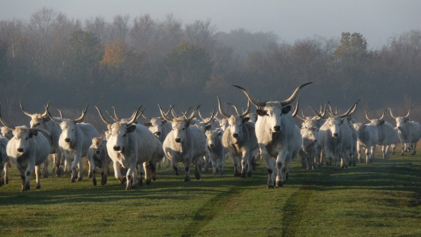 Hungarian grey cattles in the Káli Basin
