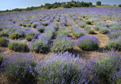 Lavender Pick It Yourself 2020